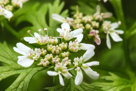 cilantro: flores y hojas de cilantro