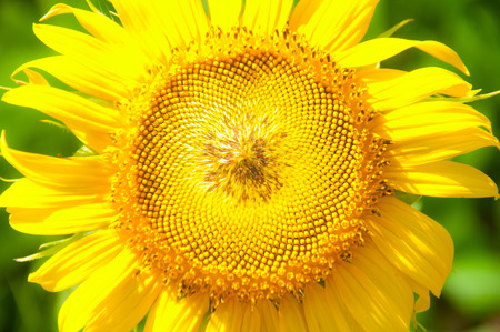 beautifully: Sunflower growing flowers blooming beautifully . Stock Photo