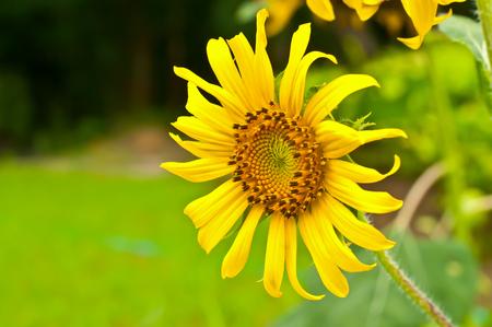 growing flowers: Sunflower growing flowers blooming beautifully