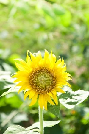 growing flowers: Sunflower growing flowers blooming beautifully . Stock Photo