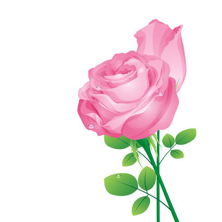 single flower: pink roses on a white background