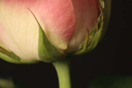 pedicel: rosebud