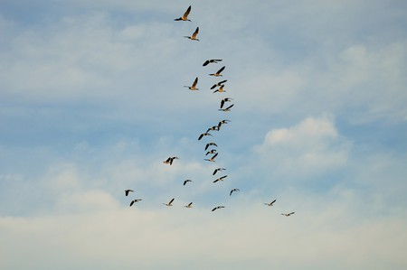 migrating: Migrating birds in chaos