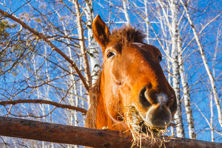 Horse head eating hay on a sunny day Imagens