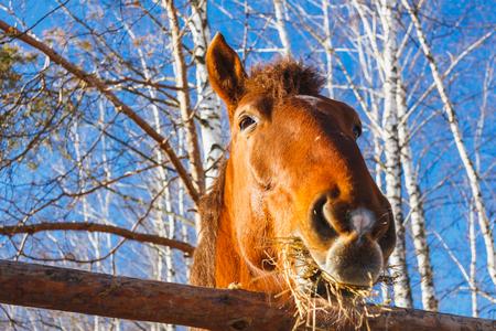 Paardenkop die hooi eet op een zonnige dag Stockfoto