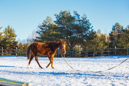 Red stallion in training in the winter on the parade ground Фото со стока