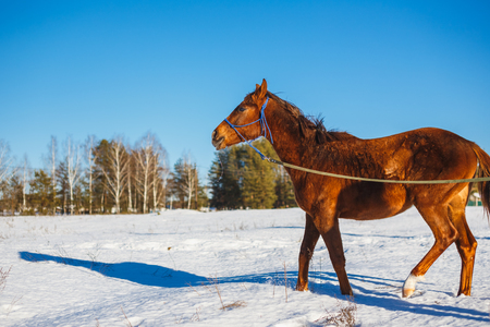 Red horse in a winter snowy field in the cold