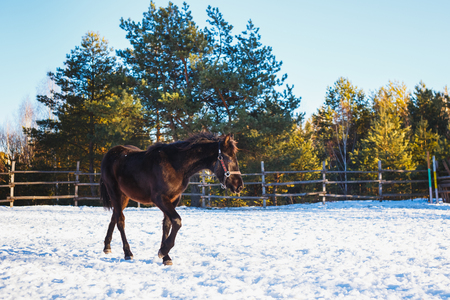 Black Arabian foal runs along the parade ground in training. It is snowing, but spring has come. Sunny day