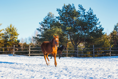 Red Arabian foal runs gallop along the parade ground in training. It is snowing, but spring has come. Sunny day