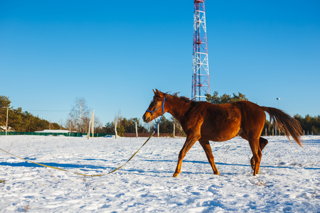 Red foal with a white star on the muzzle in a winter snowy field in the sun. Stok Fotoğraf