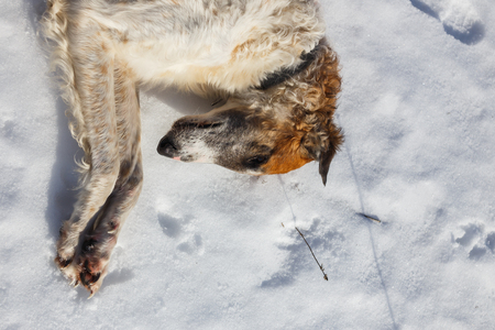 Russian borzoi dog lying in the snow. Head of dog close up. Stock Photo