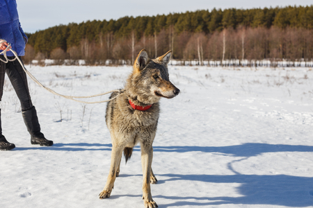 The girl is engaged in training a gray wolf in a snowy and sunny field Stock Photo