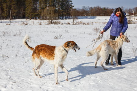 A girl, a wolf and two canine greyhounds playing in the field in winter in the snow.