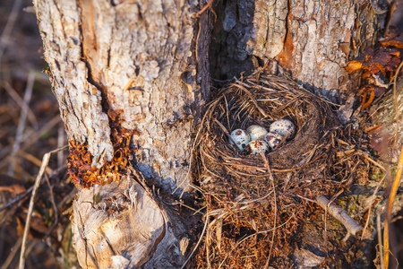 Nest with bird eggs in the spring forest.