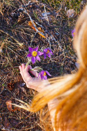 The girl collects pasque-flower in the spring forest.