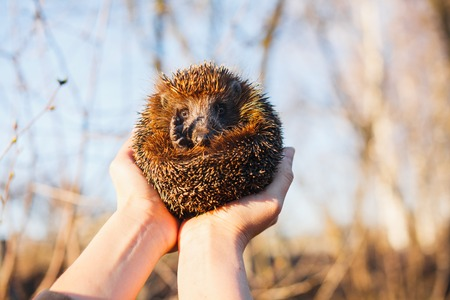 Hedgehog curled up in the hands of a girl.