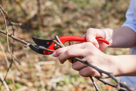 The girl cuts branches with pruners on an apple tree. Graft.