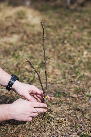 The process of grafting trees in the garden.