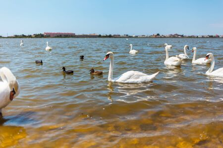 White Swans with ducklings on a lake against the background of the city.