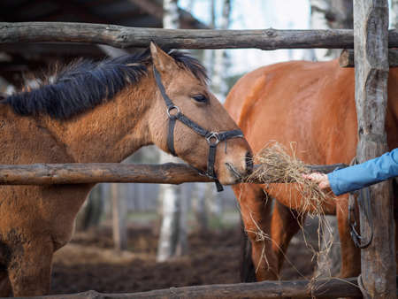 The horse's muzzle reaches for the hand with hay.