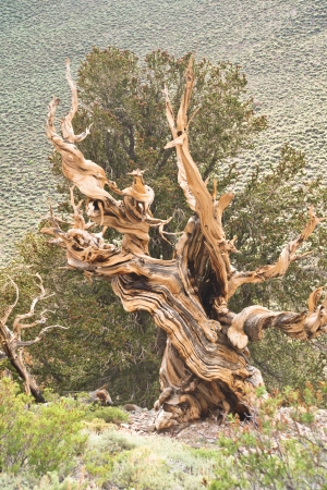 tree stump: Twisted trunk of an ancient bristlecone pine - world