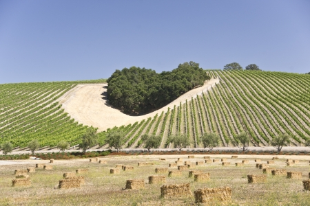 Heart-shaped cluster of oaks amid a California hillside vineyard Stock Photo