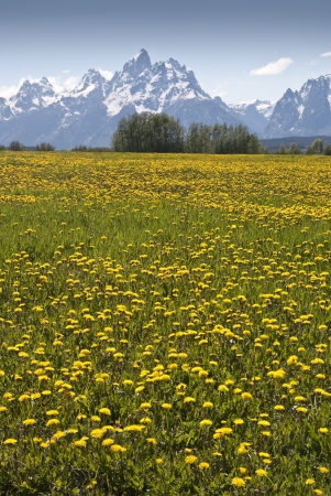 A profusion of yellow flowers decorates a meadow with Grand Teton Mountain the the background
