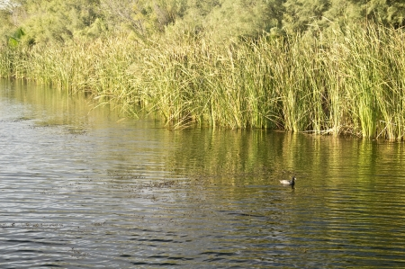 cattails: Tranquil scene of a duck beside cattails on a small pond in the desert southwest