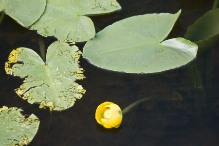 A yellow mountain lily floats in a pond along the Continental Divide in Wyoming USA Stock Photo - 14953445