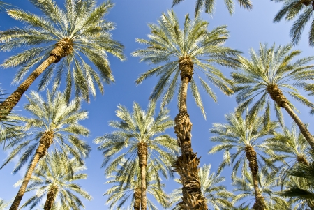 Unique angle on desert Date Palms at an orchard in Mecca, California photo