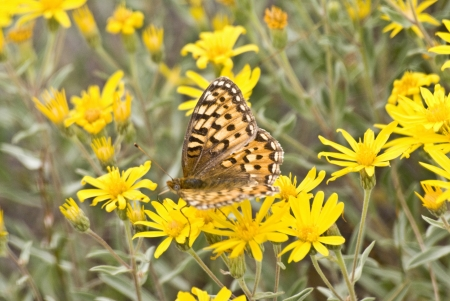 Close-up of a painted butterfly on yellow dasies in a meadow in Yellowstone Park Stock Photo - 14953455