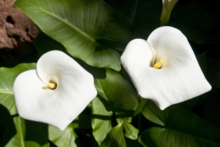 Close-up of two white lilies with with greenish-yellow stamen photo