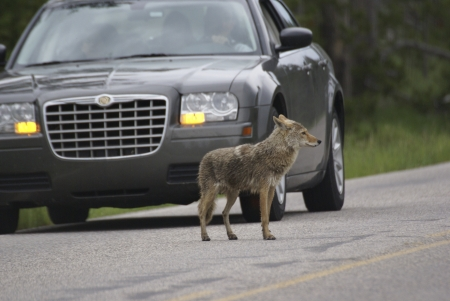 A coyote in Yellowstone Park appears oblivious to an approaching car, the driver