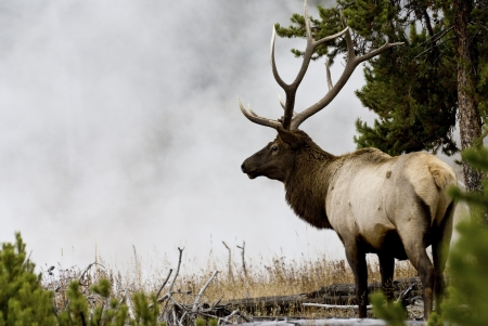 A large bull elk framed besie the steam of a geyser area and forest in autumn in Yellowstone Park