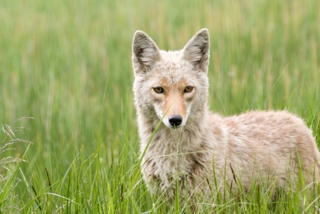 Portrait of a coyote in a meadow of grass in Yellowstone National Park, Wyoming photo