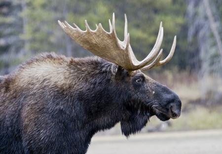 그랜드 테톤 국립 공원, 와이오밍에있는 뿔을 가진 황소 사슴의 근접 초상화 스톡 콘텐츠