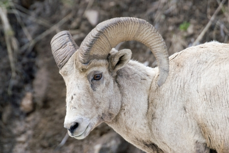 Close-up of a bighorn sheep ram with curved horns in Yellowstone Park, Wyoming