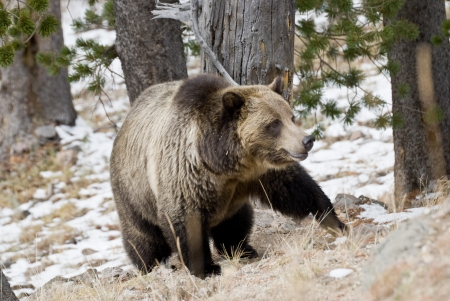 A massive male grizzly bear stalks through a mountain forest in Yellowstone Park photo