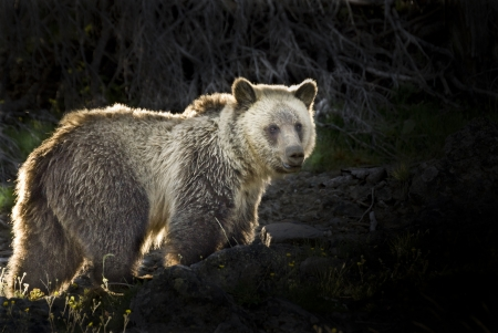 Morning sunlight backlights a wild Grizzly Bear on Dunraven Pass in Yellowstone Park