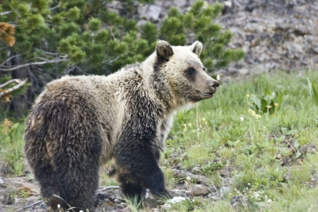 yellowstone: A wild young Grizzly Bear searches for vanishing Whitebark Pine nuts on Dunraven Pass in Yellowstone Park