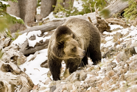 A magnificent large adult grizzly bear stands in a snowy Whitebark pine forest