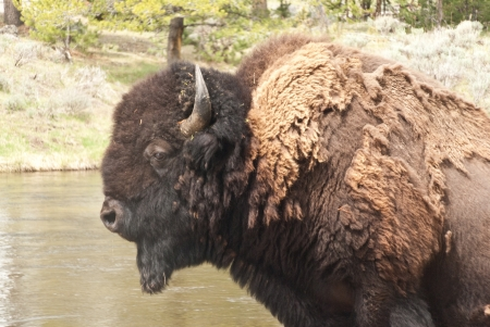 Side view of a large male bison beside a river in Yellowstone Park Stock Photo - 14988232