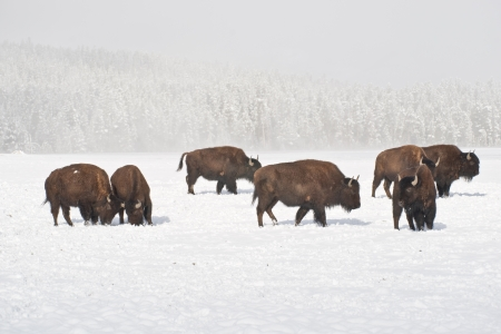 Sunshine peaks through as bison graze in winter