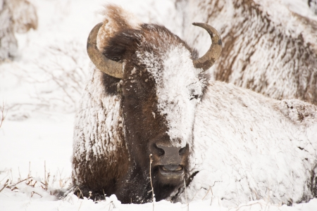 Yellowstone bison hunker down to survive during a spring blizzard photo