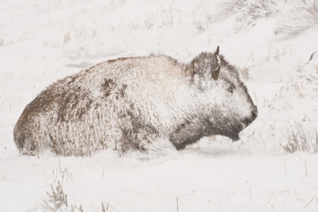 hunker: Yellowstone bison hunker down to survive during a spring blizzard