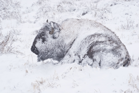 Yellowstone bison hunker down to survive during a spring blizzard 版權商用圖片 - 14988252