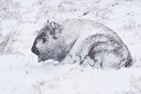 blizzard: Yellowstone Bison Hunker Down, um zu �berleben in einer Feder blizzard Lizenzfreie Bilder