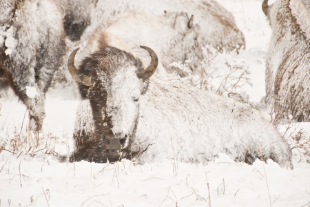 Yellowstone bison hunker down to survive during a spring blizzard Stock Photo - 14988249
