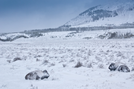 Yellowstone bison hunker down to survive during a spring blizzard Stock Photo - 14988193