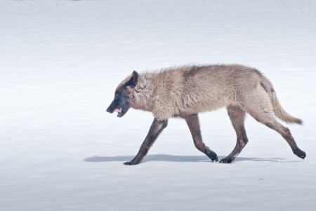 A lone wolf strides across a snowy meadow in Yellowstone National Park photo